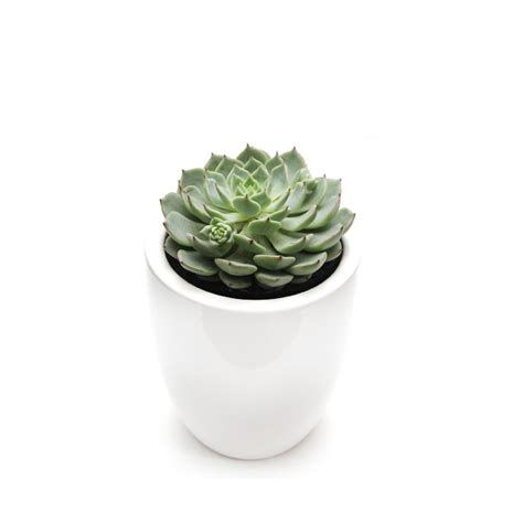 succulent pots succulent echeveria quot sunny quot in white or black mini ceramic