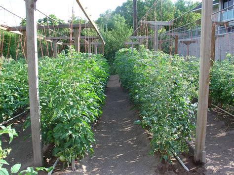 Backyard Tomato Garden by Beautiful Tomato Garden Garden And Outdoors