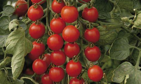 Wie Pflanze Ich Tomaten 4086 by Tomaten Auss 228 En Und Pflanzen Das Haus