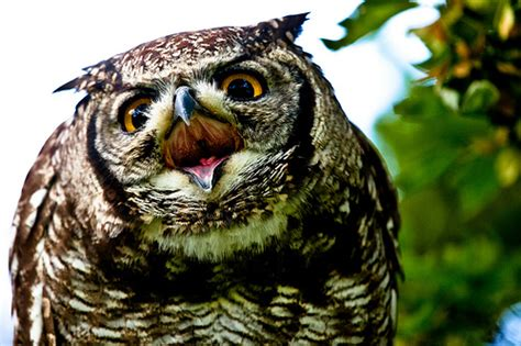 the spotted eagle owl in backyard flickr photo