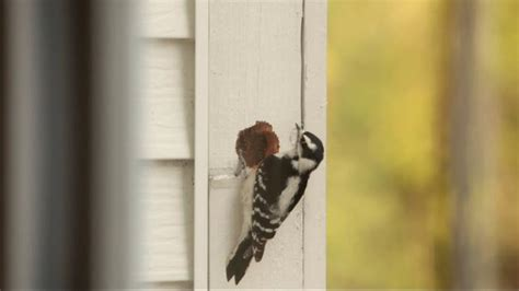 woodpecker on house siding woodpecker damage on house siding on vimeo