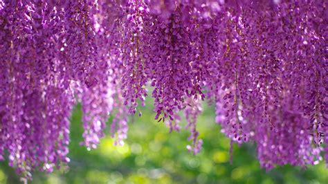 wallpaper wisteria blossom purple hd flowers