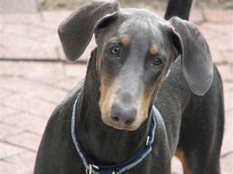 doberman pinscher ファイル doberman pinscher blue portrait jpg