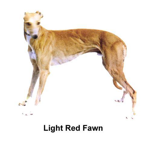 greyhound colors about greyhounds greyhound adoption