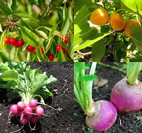 fast growing fruit trees  vegetables   home