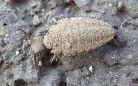 doodlebug insect larvae antlion