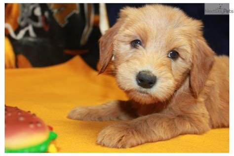 goldendoodle puppy diet meet blossom a goldendoodle puppy for sale for 1 150