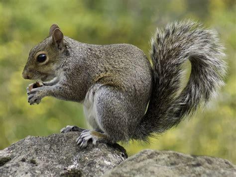 squirrel images clipart squirrel