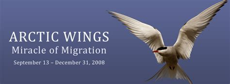 on the wing travels with the songbird migration of books arctic wings miracle of migration home burke museum