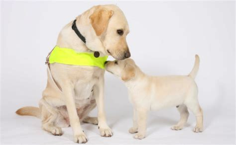 guide dogs for the blind the guide dogs for the blind association guide dogs visual impairments charities