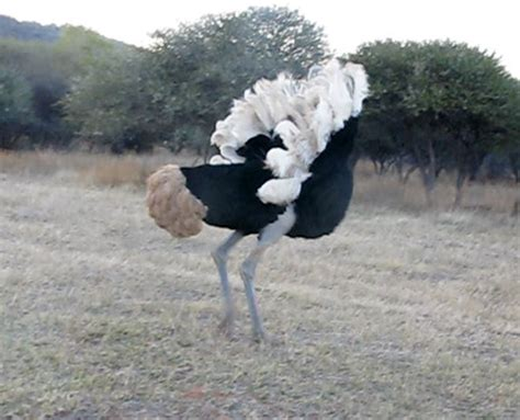 video incredible ostrich mating dance africa geographic