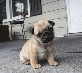 the cutest pug puppy in the world cutest pug puppy in the world for the of pugs pug puppys