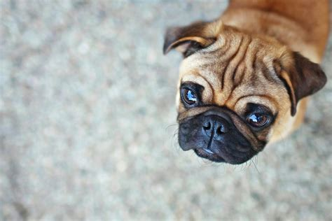 wrinkly pug wrinkly pug puppy photograph by lomax speelman