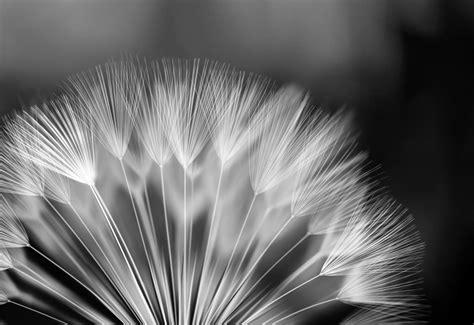 black and white dandelion wallpaper black and white dandelion wallpaper wallpapersafari