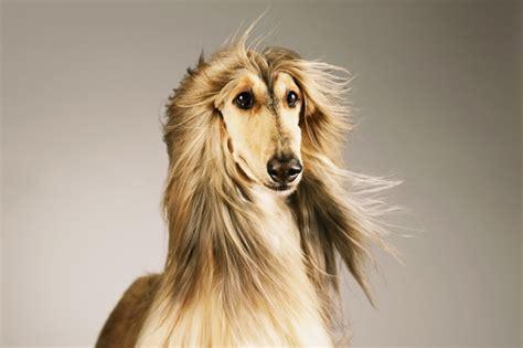 hound names afghan hound names dogtime