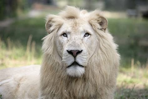 the lion and the why the white lions are so important to our survival top speaker events