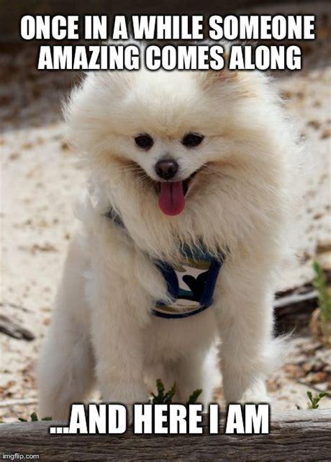 Pomeranian Meme - 62 best pomeranian memes images on pinterest pomeranian