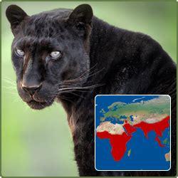 """black leopard, """"enoch"""""""