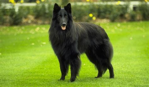 p breeds belgian sheepdog breed standards