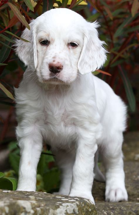 english setter dogs for sale uk english setter bitch puppies gloucester gloucestershire