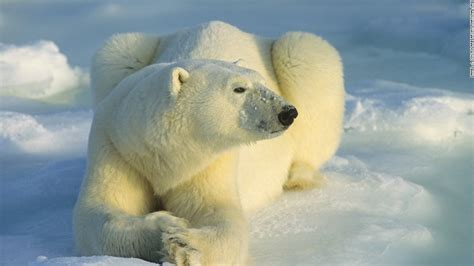 Two Polar Bears In A Bathtub by Scientists Rescued From Polar Bears In Arctic Cnn