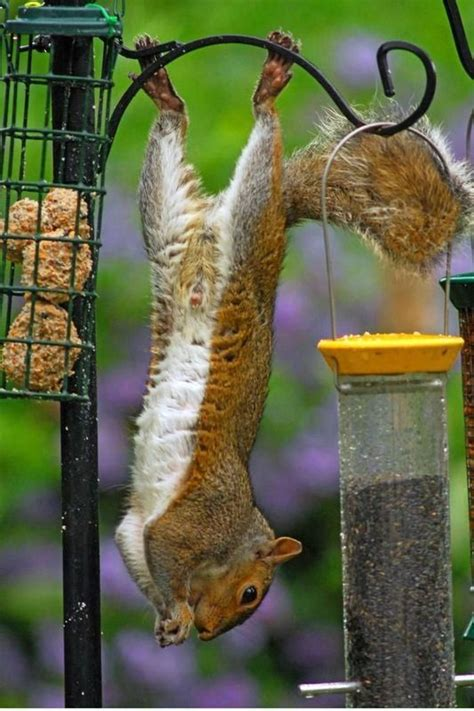 214 best quot squirrels quot images on pinterest squirrels