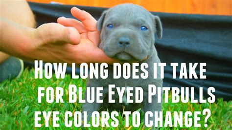 chagne pitbull puppies do pitbull puppies with blue really exist