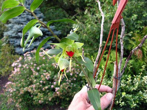 Dendrobium Tobaense dendrobium tobaense gro 223 r 228 schener orchideen
