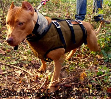 boar dogs 17 best images about dogs on vest american pit and