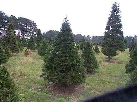 virginia pine christmas trees