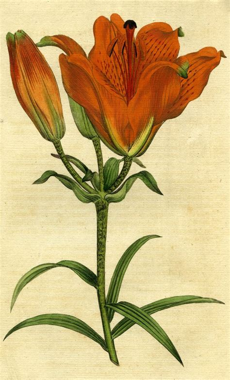 the botanical art files 0992562422 painted botanical illustration of orange lily lilium bulbiferum posters prints by unknown