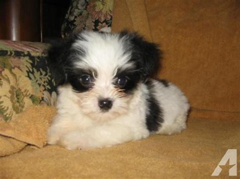 black morkie puppies morkie puppies black white for sale in seneca south carolina classified
