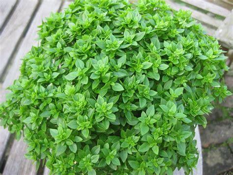 basilico in vaso malattie basilico greco aromatiche caratteristiche basilico