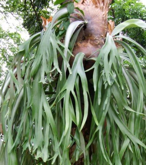 Bibit Rusa menanam dan budidaya bunga tanduk rusa satu jam