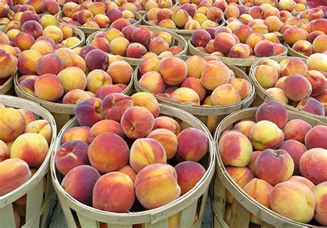fruit trees for sale in nj your own at melick s town farm