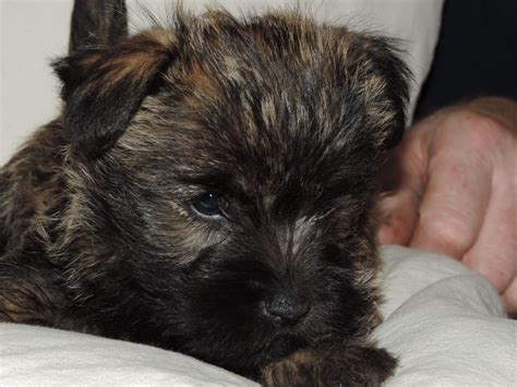 cairn puppies pedigree cairn terrier puppies high peak derbyshire pets4homes