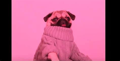 wow what does pug a pug rap to s hotline bling song and wear several wow