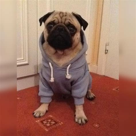 clothes with pugs on 15 adorable pugs wearing ridiculously clothes