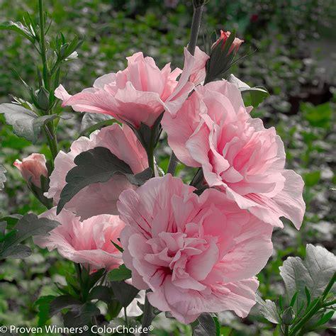 pink chiffon rose  sharon plant addicts