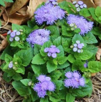 Benih Bunga Matahari Murah jual benih bibit tanaman bunga ageratum murah bibit
