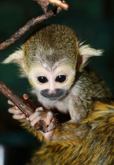 images  squirrel monkey  pinterest twin baby squirrel   kiss