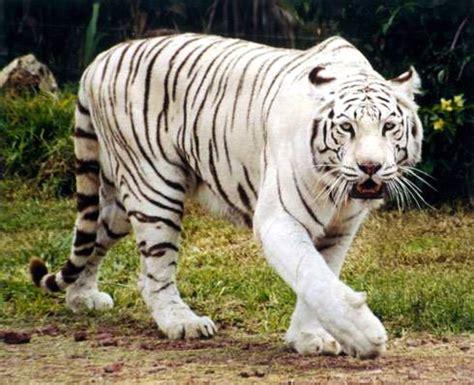 fotos animales tigres im 225 genes de tigres blancos animales omnivoros