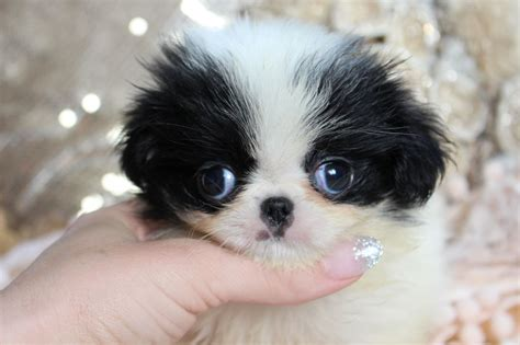 puppy for japanese chin puppies norfolk pets4homes