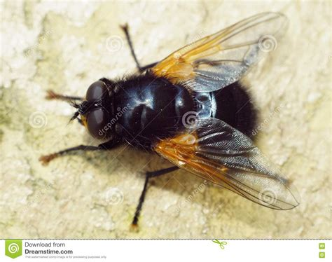 flying with large big fly stock photography cartoondealer 41428826