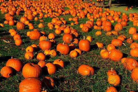 pumpkin patches pumpkin patches your own pumpkin this fall