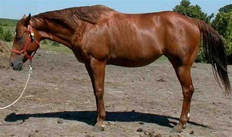 how much weight can a horse carry comfortably sugar