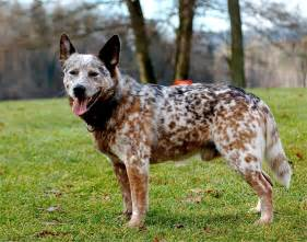 australian cattle colors and blue heeler history