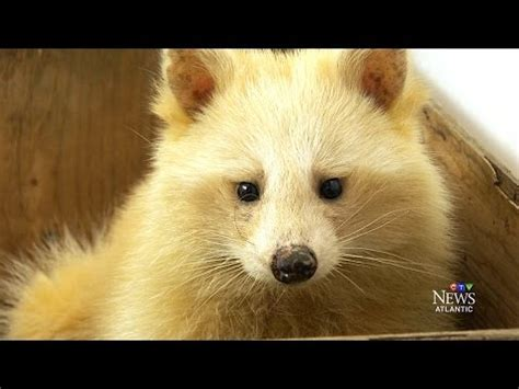 natural blonde unique raccoon shows   ns shelter