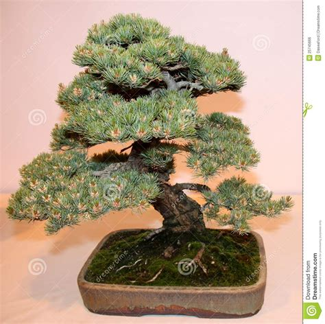 bonsai miniature tree royalty free stock image image