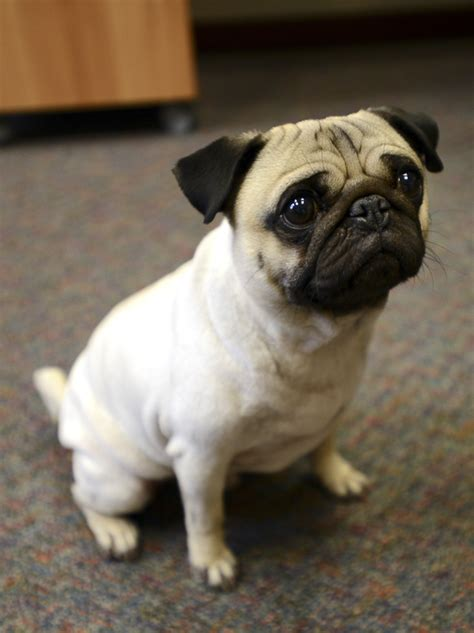 where do pugs originally come from 5 reasons why pugs make great therapy dogs the pug diary
